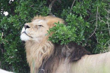 Free wild roaming african lion
