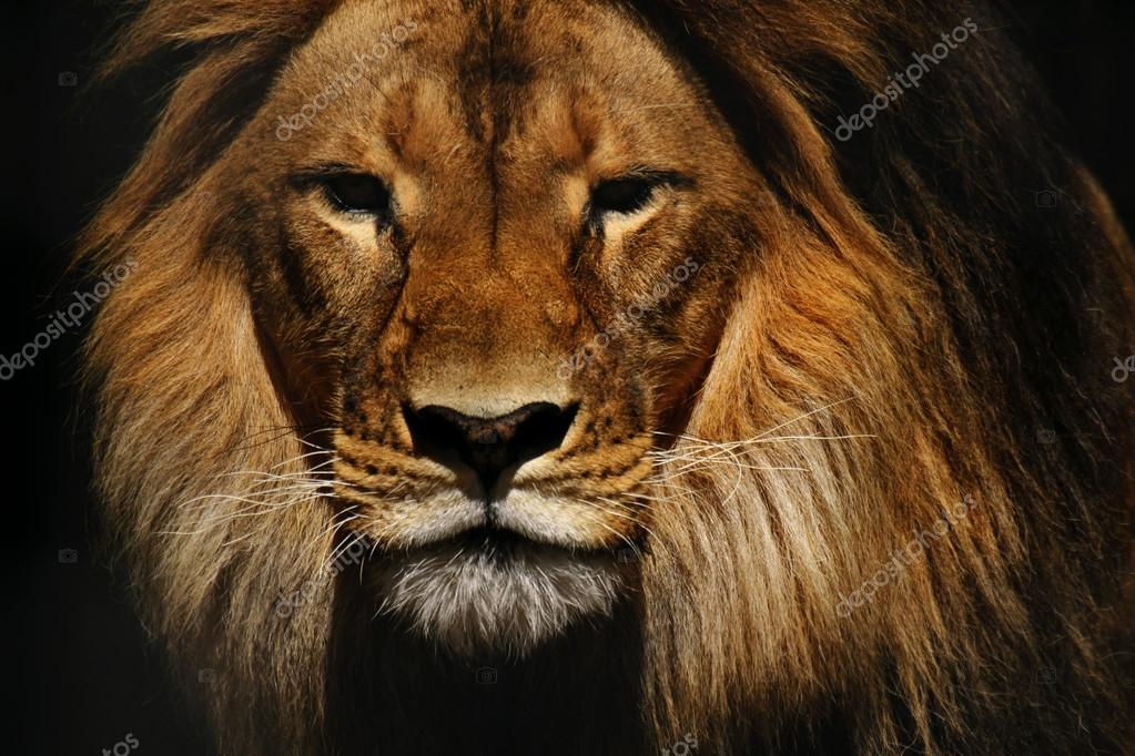 leone maschio closeup � foto stock 169 whitepointer 55942833