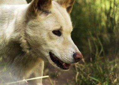 Dingo (Canis lupus dingo), Albino