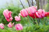 Fotografie tulpen mit wassertropfen