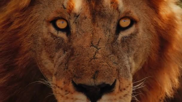 Exclusive Close Up Footage Of Lion Looking Into The Camera