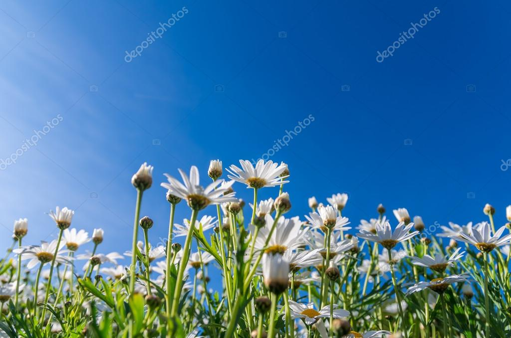 White flowers in green grass