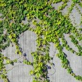 Fotografia foglie di edera sul fondo della parete