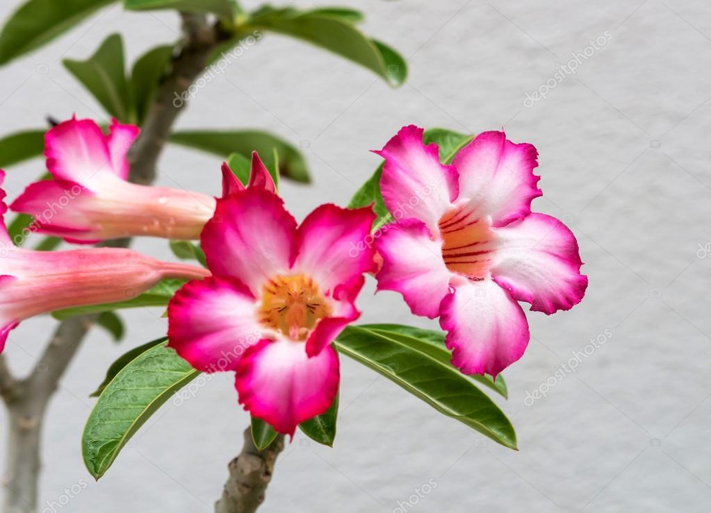 Close up Beautiful Desert Rose,scientific name is adenium obesum