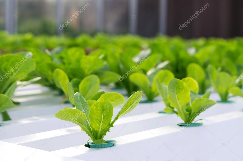 Hydroponic vegetable in farm