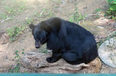 Photo Black bear sitting on the timber
