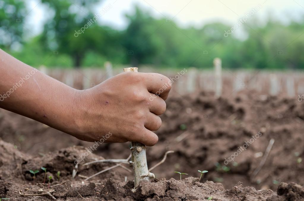 hand holding to Plant cassava in the field