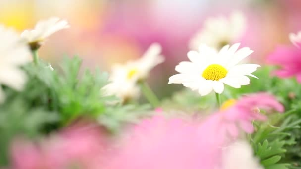 Ženská ruka se dotýká květ sedmikrásky, zblízka