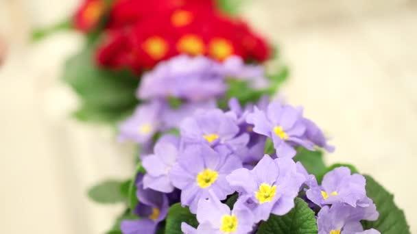 koncepce zahrady jarní, Žena květinářství rukou dotknout květy fialové petrklíčů