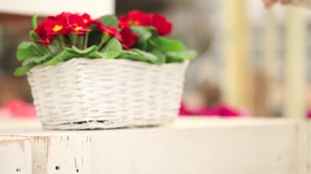 koncepce zahrady jarní, květinářství žena ruce s bílý proutěný koš květy petrklíčů