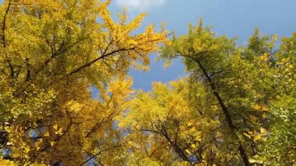 Ginkgo biloba yellow tree in autumn composition with blue sky video