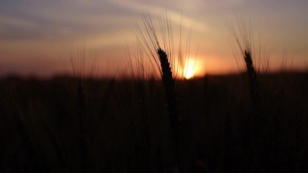 Východ slunce na obilné pole