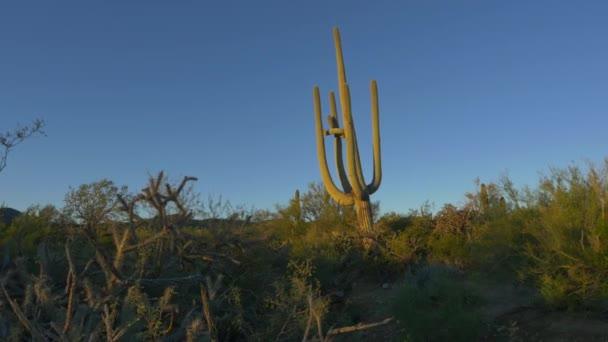 Obrovský kaktus Saguaro v Arizoně pouště na ráno