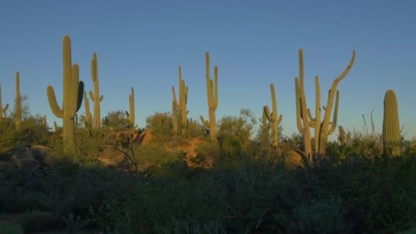 Amazing tall saguaro cactuses growing in amazing sunny Arizona desert