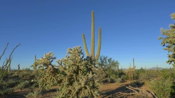 Beautiful cholla and saguaro cactuses in vast Arizona desert