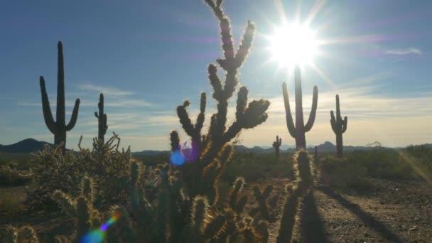 Big wild cactuses growing in rocky desert on summer evening