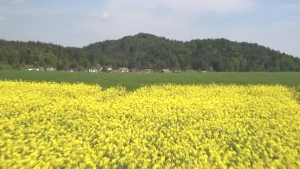 AERIAL: Lush yellow blooming oilseed rape and green wheatgrass field on farmland