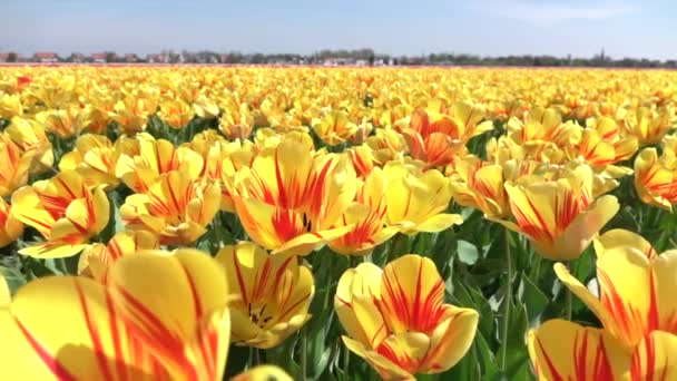 CLOSE UP: Endless field of stunning red striped yellow tulips swinging in wind