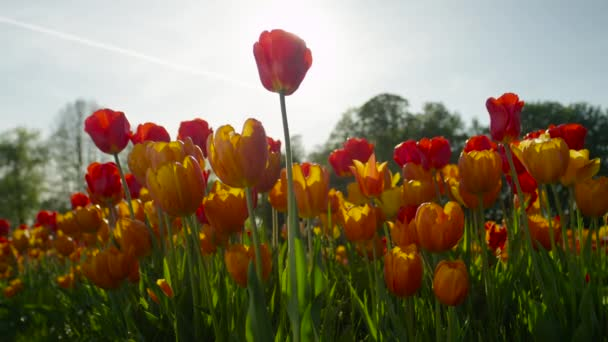 CLOSE UP: Lovely fiery red silky tulips blooming under sunny cloudless skies