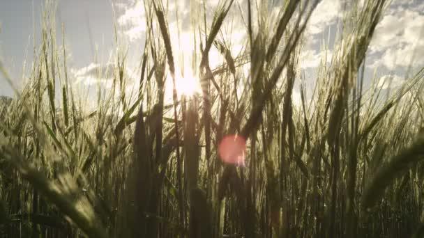 Sun shining through young wheat