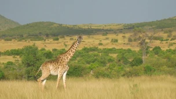 Zsiráf afrikai rét, séta