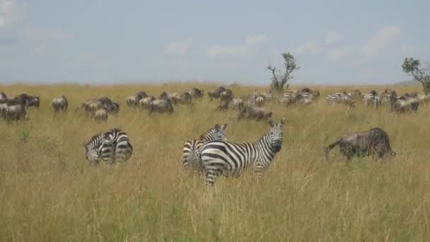 zebre e GNU