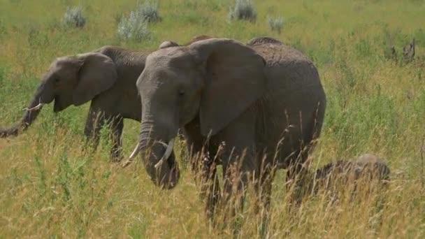 elefánt család