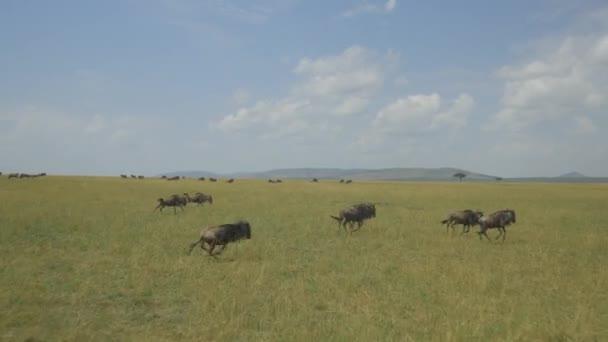 Gnus in Afrika ausgeführt
