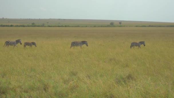 Zebre in safari africano