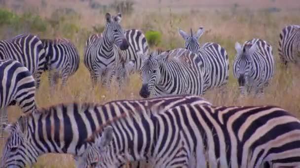 Herd of zebras in Africa