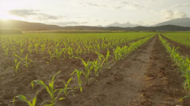 AERIAL SLOW MOTION: Flying above rows of young maize on cornfield at sunset