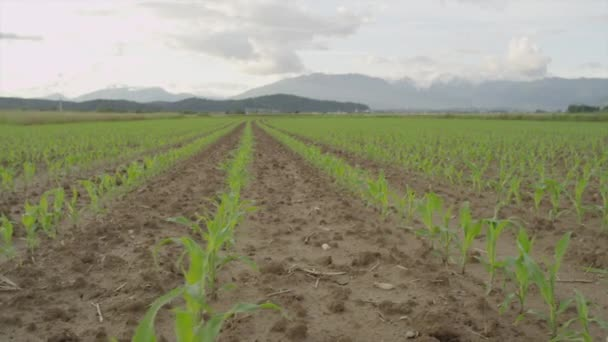 AERIAL SLOW MOTION: Young maize growing on big agricultural field