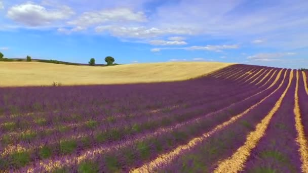 AERIAL: Stunning big fields of purple lavender and yellow wheat