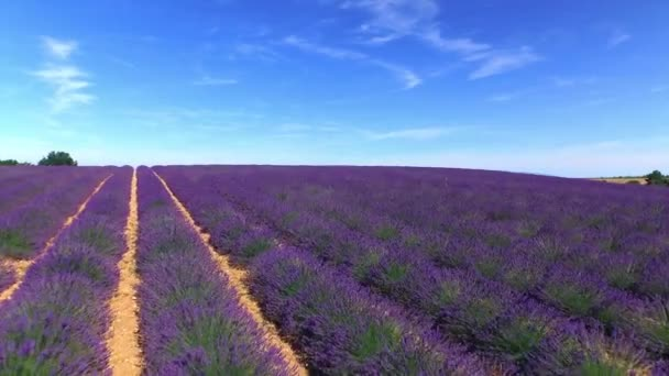 AERIAL: Stunning big field of purple lavender in sunny summer