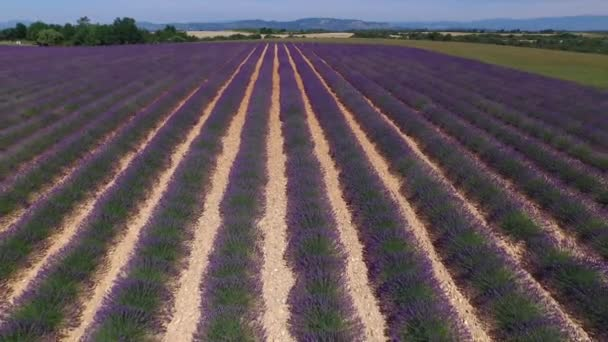 AERIAL: Amazing big lavender field in sunny France