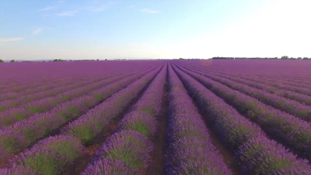 AERIAL CLOSE UP: Beautiful purple lavender field on sunny day