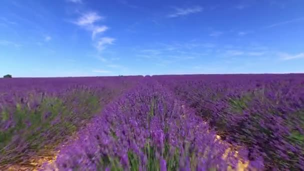 AERIAL: Beautiful purple lavender field against clear blue sky