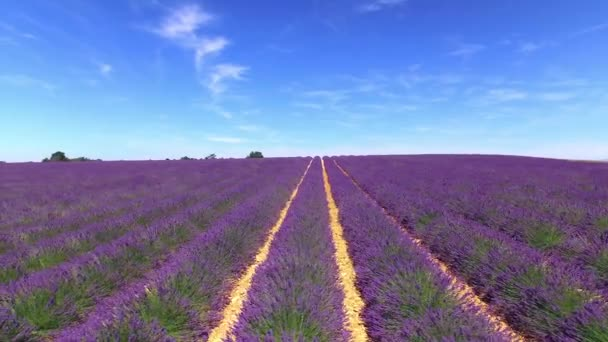 AERIAL: Flying above the rows of lush purple lavender