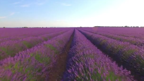 AERIAL CLOSE UP: Flying above beautiful purple lavender field