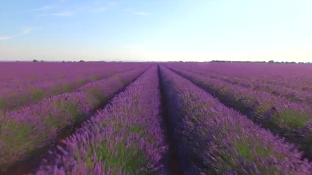 AERIAL: Flying above endless rows of beautiful lavender field