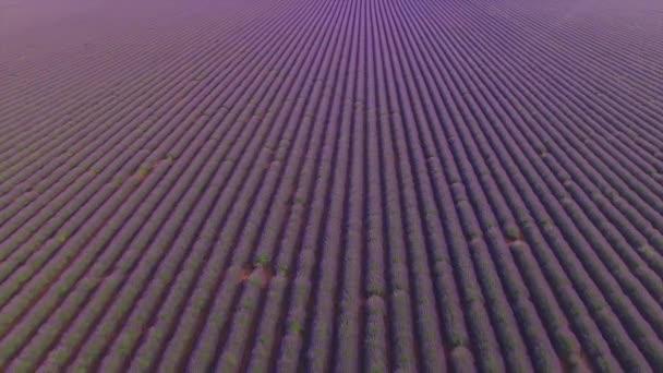 AERIAL: Huge field of beautiful violet lavender in France