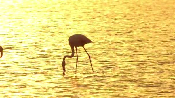 Silhouette of beautiful pink flamingos searching for food in water