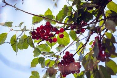 Ripe Cherries. Nature Background