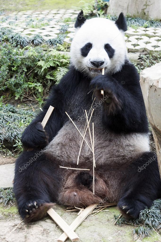 panda sitzen und essen bambus stockfoto kittimages 113305280. Black Bedroom Furniture Sets. Home Design Ideas