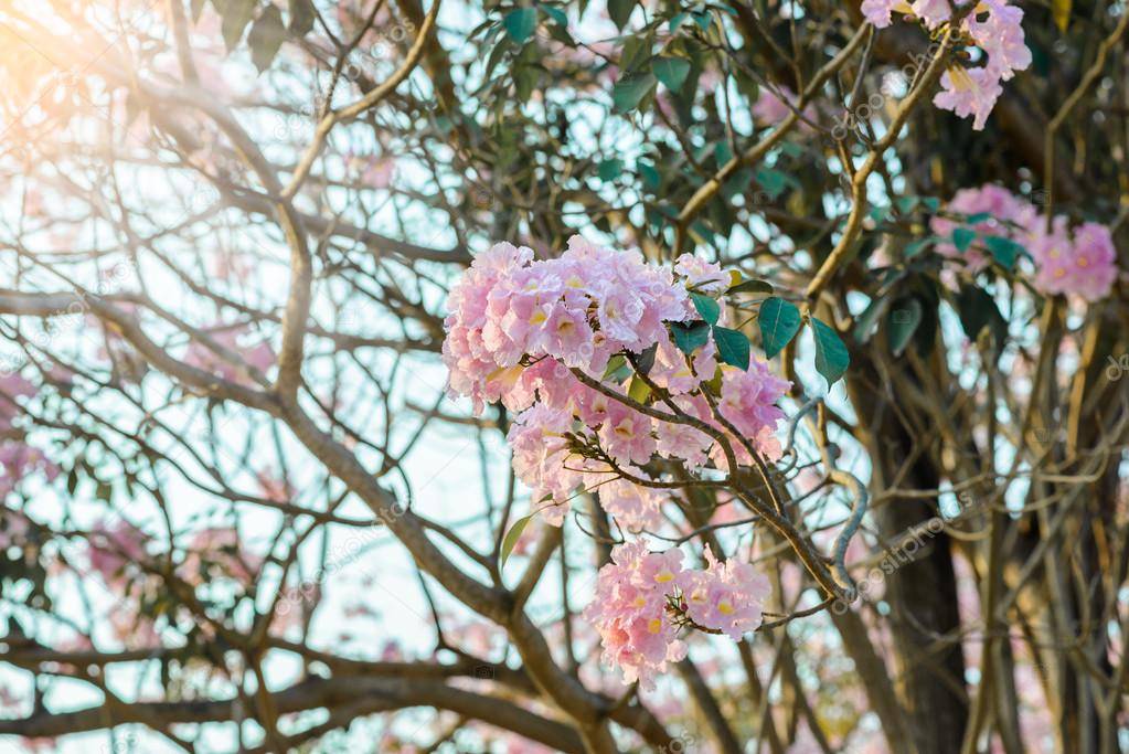 Tabebuia rosea is a pink flower neotropical tree stock photo tabebuia rosea is a pink flower neotropical tree common name pink trumpet tree pink poui pink tecoma rosy trumpet tree basant rani photo by mightylinksfo