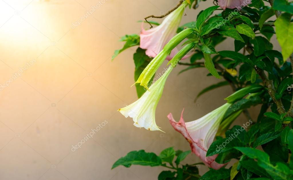 Brugmansia or Angels Trumpets