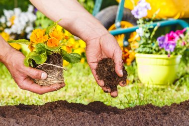 man hands planting a yellow flowers plant