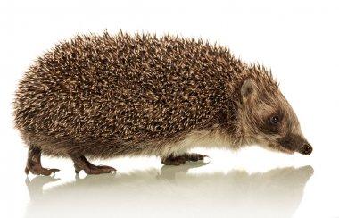 Hedgehog on white background