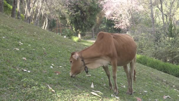 Cow grazing on the hill.