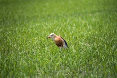Javan Pond Heron in natural rice farm